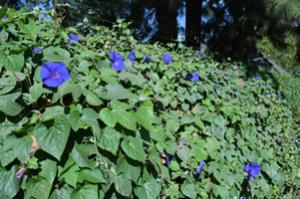 図1 街中に咲いているアサガオ