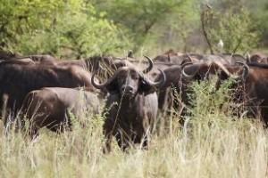 近くのサファリでは水牛が