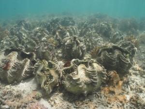 資源保護区のシャコガイ集団