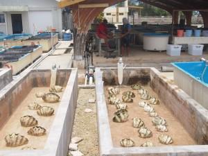 シャコガイ母貝の産卵誘発