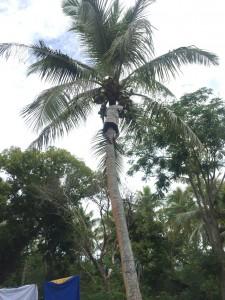 バヌアツ人は子供でも軽々とココナツの木に登れます